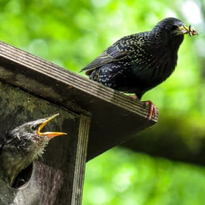 Starling withy young