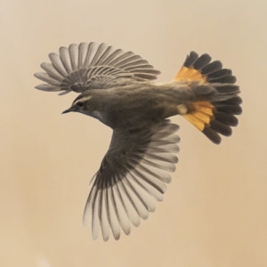 Bluethroat in flight