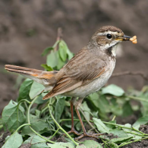 Female Bluethroat