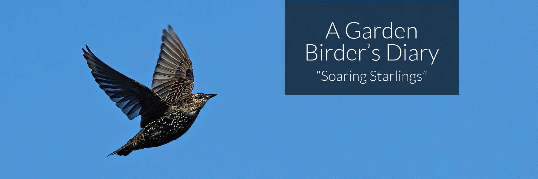 A Garden Birder's Diary – Soaring Starlings