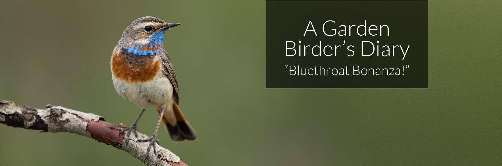 A Garden Birder's Diary – Bluethroat Bonanza