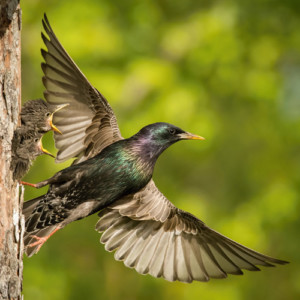 Starling with young