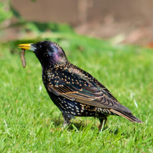 Starling with worm