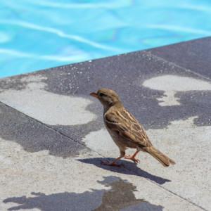 House Sparrow near pool