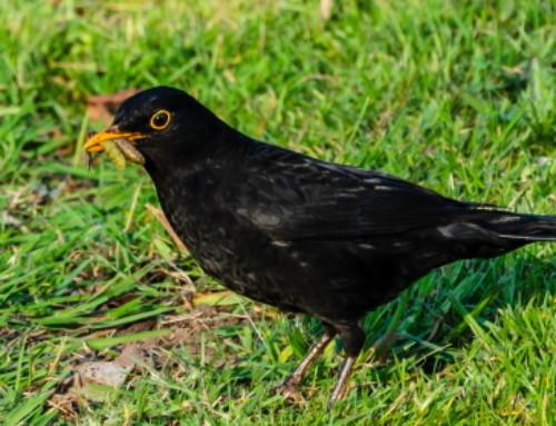 Ground Bird Feeding – How To