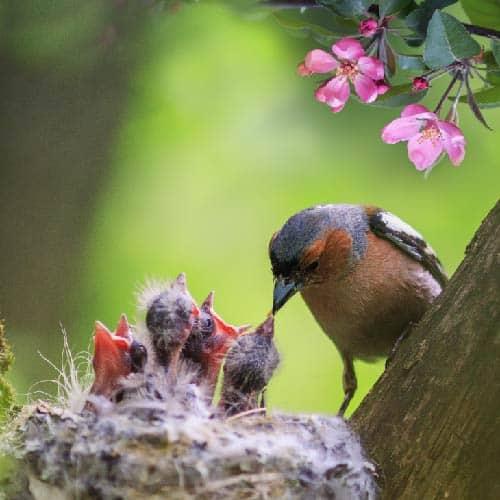 A Chaffiinch feeding its chicks