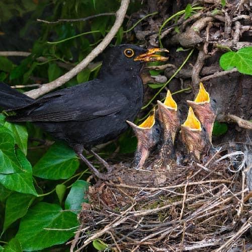 Black and chicks