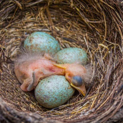 Hatching Blackbird Chick