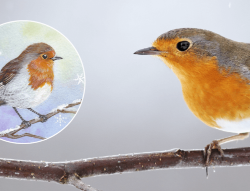 Why do we associate robins with Christmas? The legends of our Christmas Robin!